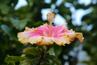 Lovely hibiscus in full bloom. just some of the fauna you'll see on your walk.