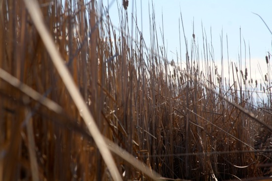 Playing amongst the cat-tails.